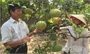 Hiệp Hòa: Phát triển bưởi Diễn, nâng cao thu nhập