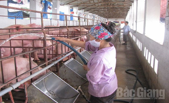 Bac Giang, 662 standard farms, animal farm