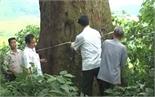 Cây Lim xanh hơn 1 nghìn tuổi ở xã Xuân Lương trở thành Cây Di sản Việt Nam
