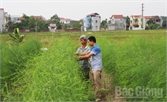 Trồng măng tây xanh thu nhập cao