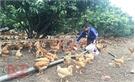 1,5 triệu con gà đồi Yên Thế 'sẵn sàng' đón Tết