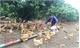 Chăn nuôi lợn theo quy trình VietGAHP: Bảo vệ môi trường, ngăn ngừa dịch bệnh