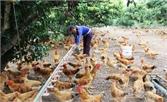 Yên Thế: Tăng đàn gà đón Tết