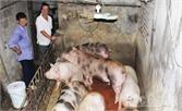"""Khu dân cư """"bốc mùi"""" vì nuôi lợn"""