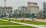 Xử lý nghiêm việc chăn thả gia súc tại khu vực Quảng trường 3-2