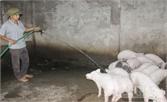 Thôn Quả phát triển chăn nuôi gắn với bảo vệ môi trường