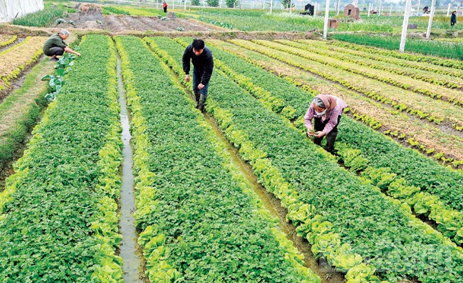 Bắc Giang, trồng hơn 1,5 nghìn ha rau,  an toàn