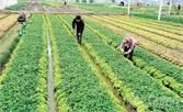 Bắc Giang: Trồng hơn 1,5 nghìn ha rau an toàn