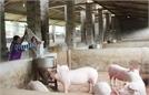 Mở rộng quy mô chăn nuôi nhờ hầm khí biogas