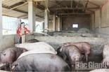 Hầm khí biogas - Giải phóng sức lao động cho người chăn nuôi