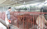 Mô hình chăn nuôi hiệu quả ở xã Quảng Minh