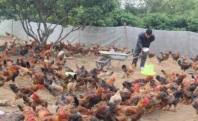 Yên Thế chuẩn bị 3,2 triệu con gà thịt bán trong dịp Tết