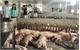 Hướng đi mới từ nuôi lợn sạch sử dụng hầm khí biogas ở Tân Yên