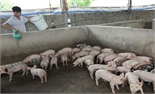 Phí Quang Sáu: Thoát nghèo từ mô hình trang trại chăn nuôi
