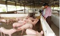 Trang trại nuôi lợn 3 tỷ đồng của một thương binh