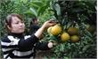 Ripe oranges brighten Luc Ngan hilly lands