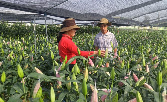 """Người trồng hoa ly ở Song Mai lo """"mất ăn"""" vì  thời tiết"""