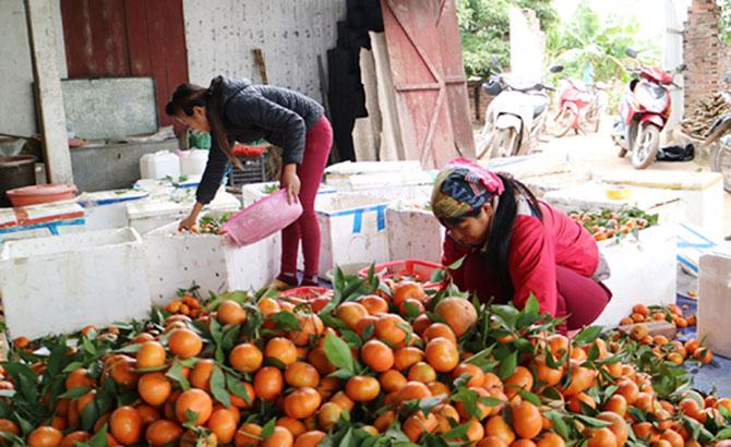 Trái cây, Lục Ngạn,  được giá, bán tại vườn