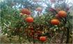 Luc Ngan fruits enjoy good prices