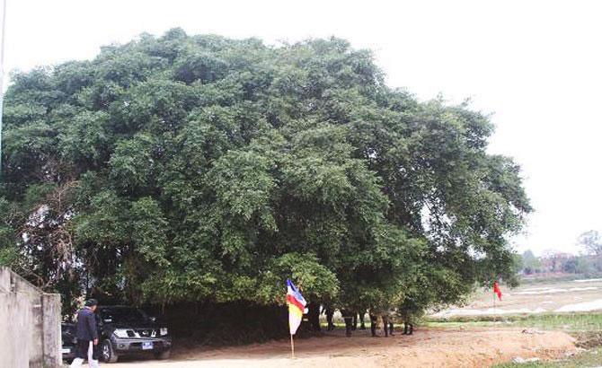 Việt Yên,    2 cây,  di sản, Việt Nam