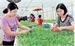 Nông nghiệp công nghệ cao - Tổ chức lại sản xuất  là yếu tố then chốt