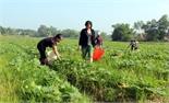 Tích tụ ruộng đất để sản xuất vụ đông
