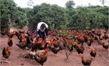 Giá gà Yên Thế tăng từ 2 đến 3 nghìn đồng/kg