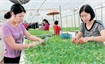 Production reorganisation key to hi-tech agriculture development in Bac Giang