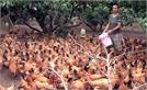 Liên kết nuôi gà, thuận đầu ra