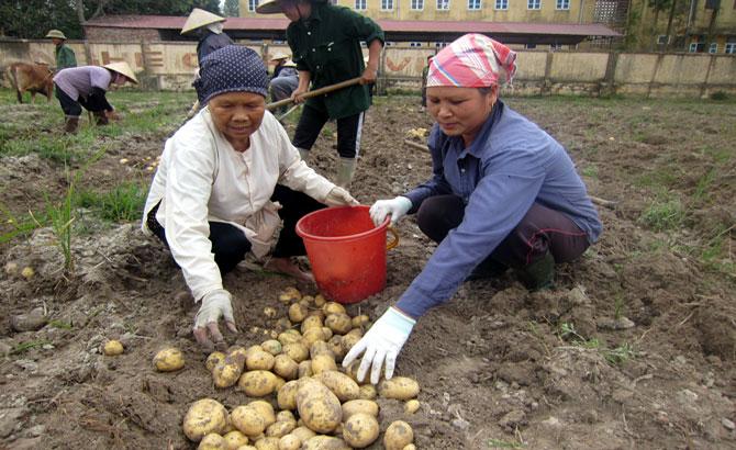 Yên Dũng,  thuận mùa,  khoai tây, vụ đông