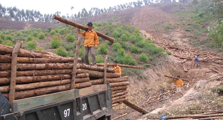 Giá trị, khai thác, gỗ rừng trồng, đạt hơn 70 tỷ đồng
