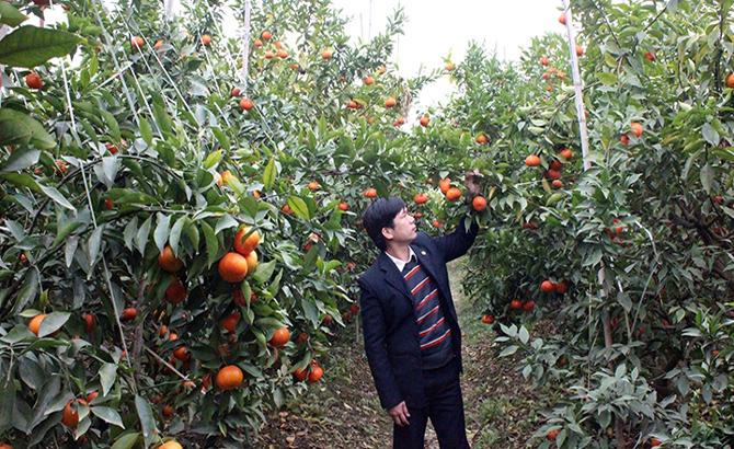 Bảo đảm, quy hoạch, cây ăn quả,  Lục Ngạn, nông dân