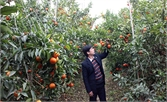 Bảo đảm quy hoạch vùng cây ăn quả ở Lục Ngạn