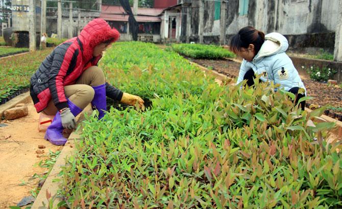 công ty,  lâm nghiệp, tranh thủ đất ẩm,  xuống giống, trồng rừng