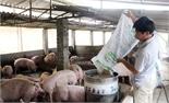 Giá lợn hơi lên, người chăn nuôi vẫn lỗ