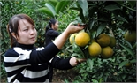 Cam Vinh ngọt ở Hồng Giang