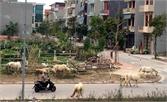 Không chăn thả gia súc ở khu dân cư