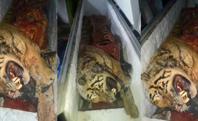 Phát hiện, con hổ, bị giết, ướp đông, công an