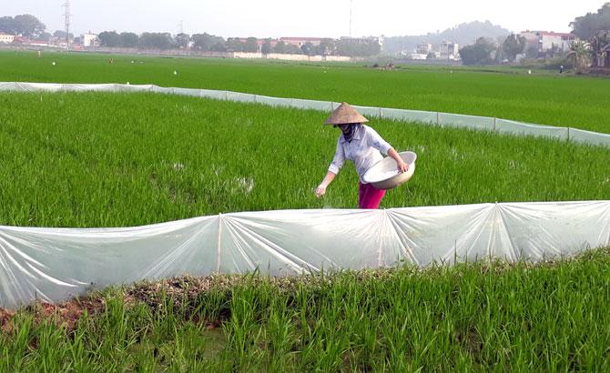 Hoàn thành, gieo cấy,  lúa chiêm xuân