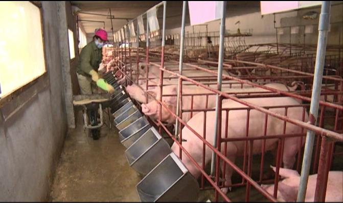 Nuôi lợn, theo tiêu chuẩn,  hữu cơ,  sản phẩm sạch