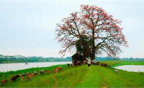 Mùa hoa gạo bên dòng sông quê