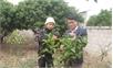 Bắc Giang: Nghiên cứu, bảo tồn giống trà hoa vàng