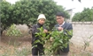 Bac Giang conducts research on yellow camellia conservation