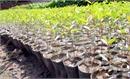 Hỗ trợ nông dân trồng giống bạch đàn nuôi cấy mô