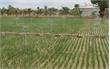 Tưới nước cải tiến - Cây trồng khỏe, năng suất tăng