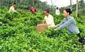 Hơn 11 tỷ đồng thực hiện dự án trồng, chế biến chè theo tiêu chuẩn VietGAP