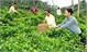Bac Giang: Over 11 billion VND for VietGap tea production project