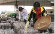 Bac Giang invests nearly 5 billion VND in mushroom production