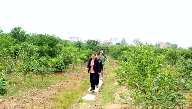 Phá vải,  trồng cam, miền núi,  Lục Ngạn, thương hiệu