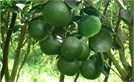 Hạn chế rụng quả ở cây ăn quả có múi